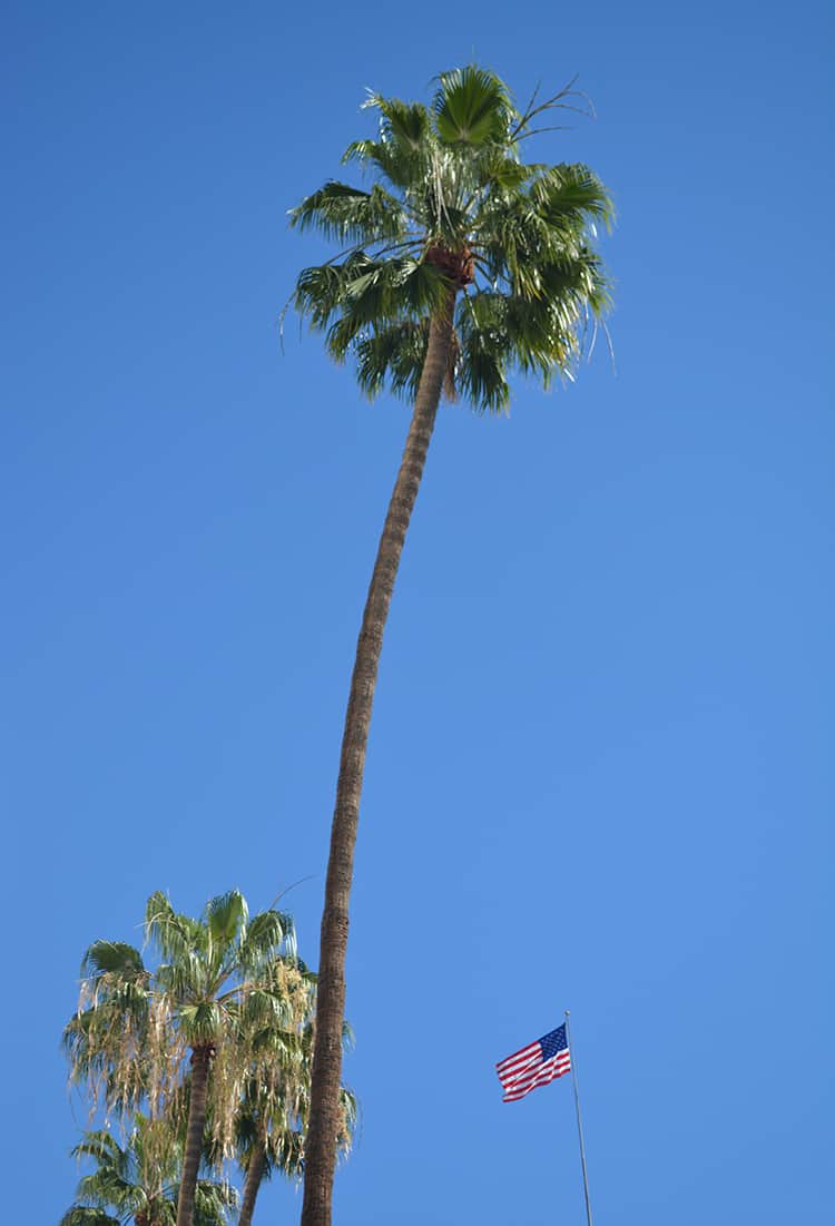 Iconic palm tree in Los Angeles